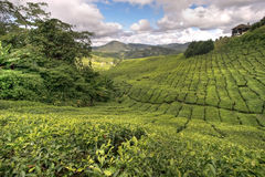 Cameron tea plantations Stock Image