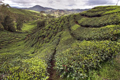 Cameron tea plantations Stock Photo