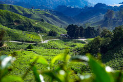 Cameron Valley tea plantation Royalty Free Stock Images