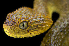 Cameroon bush viper,Atheris broadleyi. The Cameroon bush viper,Atheris broadleyi, is an almost dragon looking tree viper species found in Cameroon and Royalty Free Stock Images