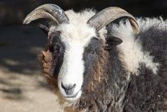 Cameroon goat Stock Image