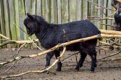 Cameroon goat. Black goat Capra aegagrus hircus. Cameroon goat stock photo