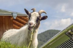 Cameroon mini-goat on the roof chews a green stick from a vine. Miniature goats do not need additional food if they have grass or a variety of plants. It is stock photos