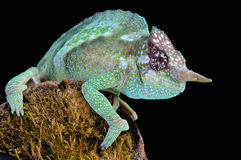 Cameroon sailfin chameleon / Trioceros montium Royalty Free Stock Photography
