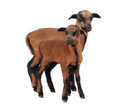 Cameroon sheep. Two little cameroon sheep on white background Royalty Free Stock Image