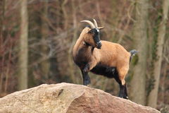 Cameroon sheep. The Cameroon sheep standing on the rock stock photo