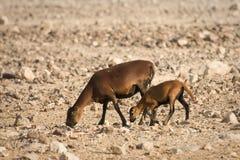 Cameroon Sheep baby Royalty Free Stock Photography