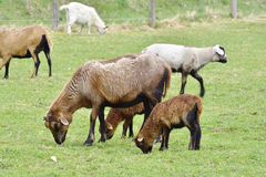 Cameroon sheep Royalty Free Stock Image