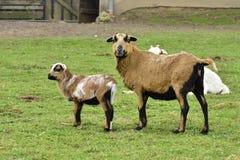 Cameroon sheep Stock Photos