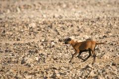 Cameroon Sheep lamb running. Cameroon Sheep baby running, Ovis aries aries stock photography