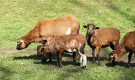 Cameroon sheep with lambs. Group of cameroon sheep with young lambs on the pasture royalty free stock image
