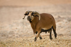 Cameroon Sheep male. Ovis aries aries royalty free stock photography