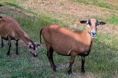 Cameroon sheep on the meadow Royalty Free Stock Photo