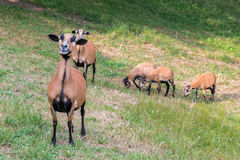 Cameroon sheep on the meadow Stock Photo