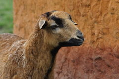 Cameroon Sheep - Ovis aries Royalty Free Stock Photography