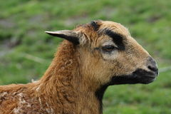 Cameroon Sheep - Ovis aries Royalty Free Stock Photos