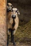 Cameroon Sheep - Ovis aries Stock Photos