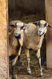 Cameroon Sheep - Ovis aries Stock Photo