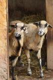 Cameroon Sheep - Ovis aries Stock Photo