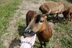 Cameroon sheep. A woman`s hand touching Cameroon sheep royalty free stock images