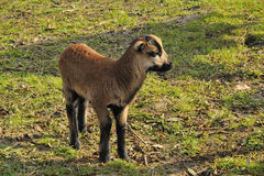 Cameroon sheep Royalty Free Stock Images