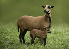 Cameroon ship with kid. Careful female cameroon sheep with little lamb on meadow with green blured background Royalty Free Stock Photography