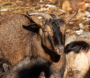 Cameroonian goat Royalty Free Stock Image