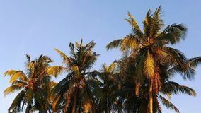 Camiguin coconut palm trees stock video footage