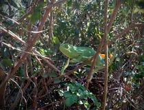 Camilion w zielonym lesie zdjęcia royalty free