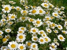 Camilla. Beautiful flowers royalty free stock image