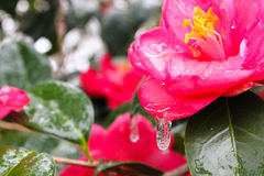 Camillia and freezing rain Stock Photo
