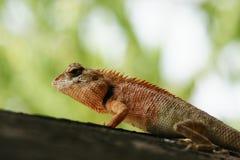 Camillian in der Natur Lizenzfreie Stockfotos