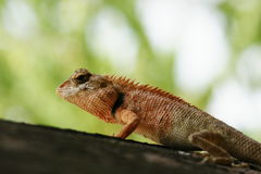 chameleon  in nature Royalty Free Stock Photos
