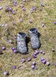 Caminando botas entre azafranes púrpuras Fotos de archivo libres de regalías