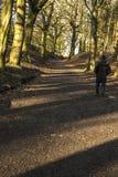 Caminando cuesta arriba en bosque en la colina de Tandle, Royton Fotos de archivo