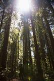 Caminando el bosque de la secoya Imagenes de archivo