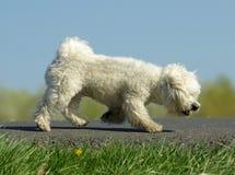 Caminando el perro Foto de archivo
