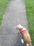 Caminando el perro fotografía de archivo libre de regalías