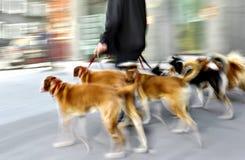 Caminando el perro en la calle Fotos de archivo libres de regalías