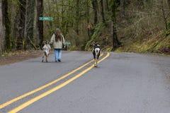 Caminando las cabras por la mañana Fotos de archivo libres de regalías