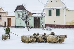 Caminando las ovejas a un lugar seguro, Viscri, Rumania foto de archivo