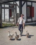 Caminando los gansos Fotos de archivo
