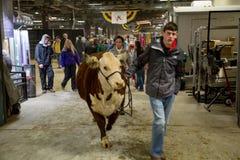 Caminando su vaca Imagen de archivo libre de regalías