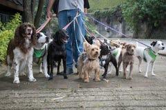 Caminante del perro Imagenes de archivo