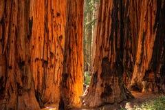 Caminante en parque nacional de secoya en California, los E.E.U.U. fotografía de archivo
