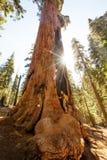Caminante en parque nacional de secoya en California, los E.E.U.U. fotos de archivo libres de regalías