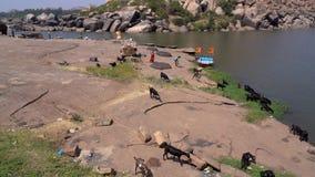 Caminar los animales cerca del río almacen de metraje de vídeo