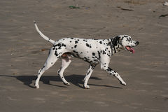 Caminata dálmata del perro Fotos de archivo