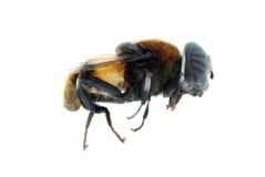 Caminata de la abeja de la mosca Imágenes de archivo libres de regalías