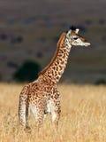 Caminata de la jirafa del bebé en la sabana en la puesta del sol Imágenes de archivo libres de regalías